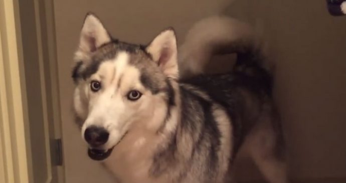 Hiro el Husky Siberiano está absolutamente aterrorizado por una pinza de pelo verde