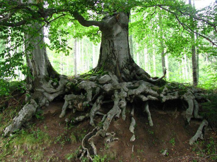 Árboles que forman amistades y recuerdan sus experiencias