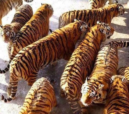 Los tigres de este zoo chino están obesos, descubre el por qué