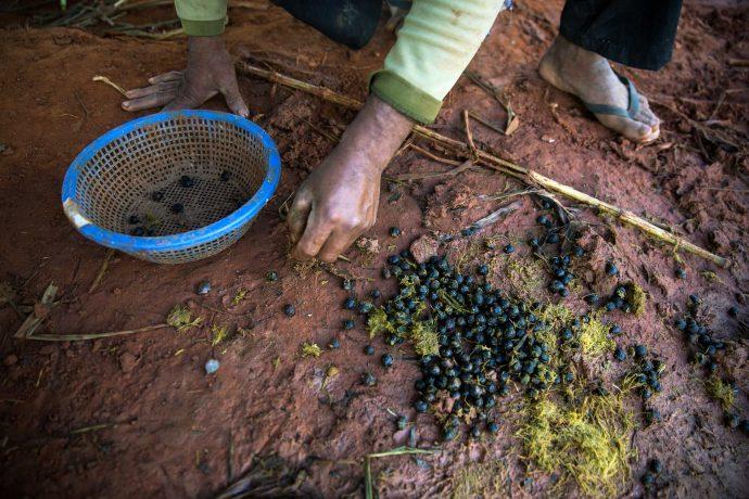 Prueba el café más caro del mundo extraído directamente de los excrementos de un elefante