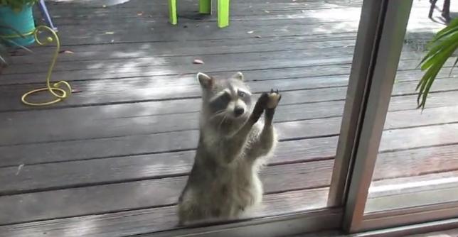 Este mapache toca la puerta de una mujer todos los días para pedirle comida