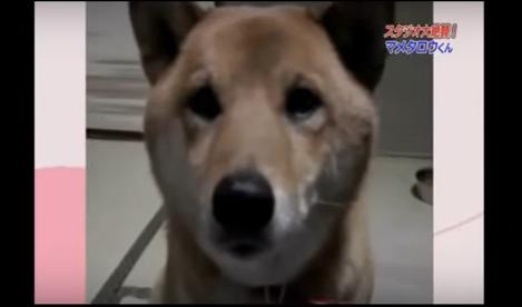 """SoftDog: El Perro que se ha hecho Famoso por su divertida reacción cuando le pides que ladre """"más bajito"""""""
