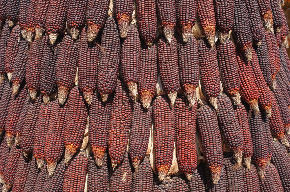 ¿Habías probado el maíz morado? Estos son sus increíbles beneficios