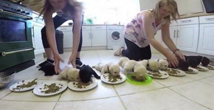 Tratar de alimentar a diez cachorros de labrador es tan caótico como adorable