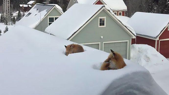 Un hombre se sorprende al ver dos zorros en su tejado; después se da cuenta de cómo habían llegado hasta allí