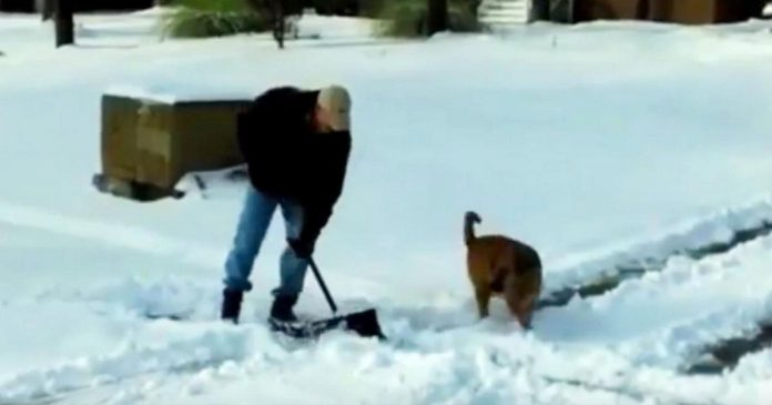 dogs helpings owners shovel snow featured