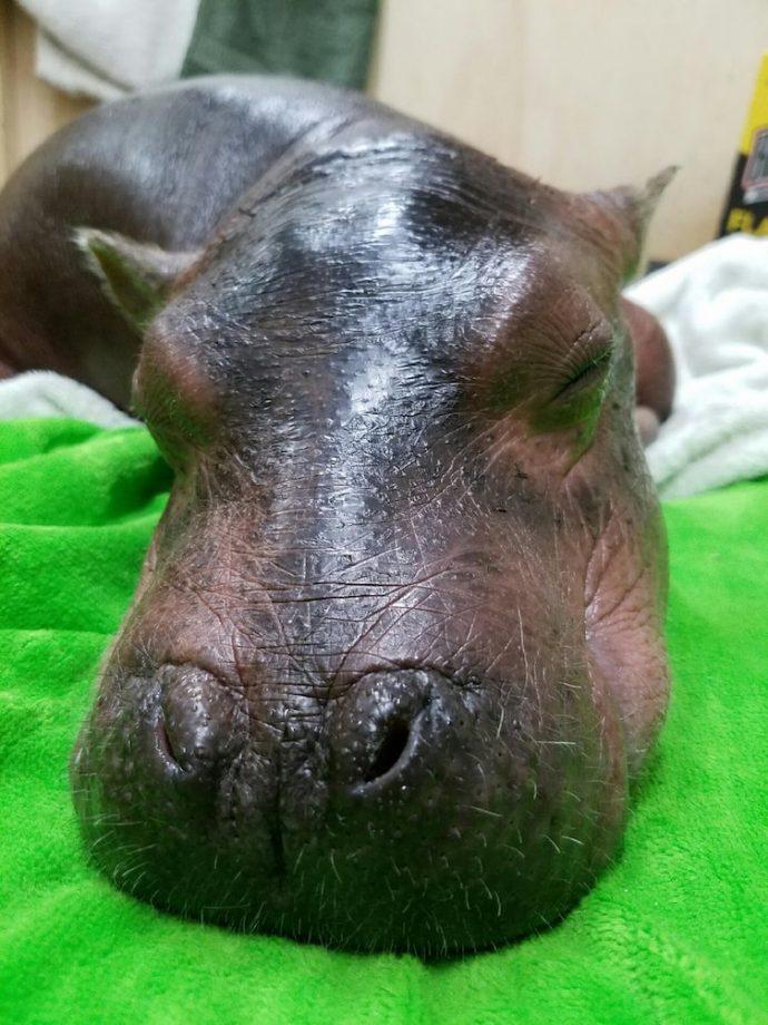 Este hospital consigue salvar a una cría de hipopótamo que estaba deshidratada