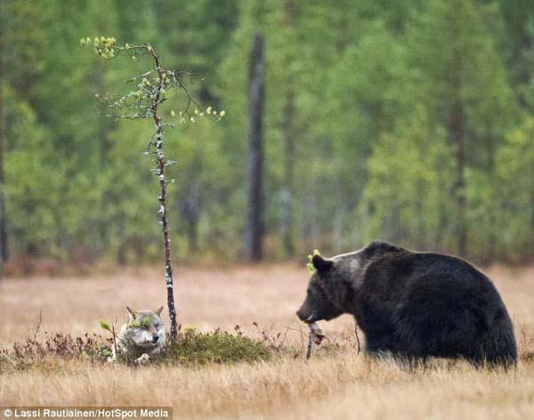 Un fotógrafo capturó las imágenes de una amistad formada por un oso y una loba