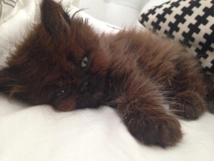 """Una chica adopta un gatito con poco pelo sin saber la """"bestia"""" en la que se convertiría"""