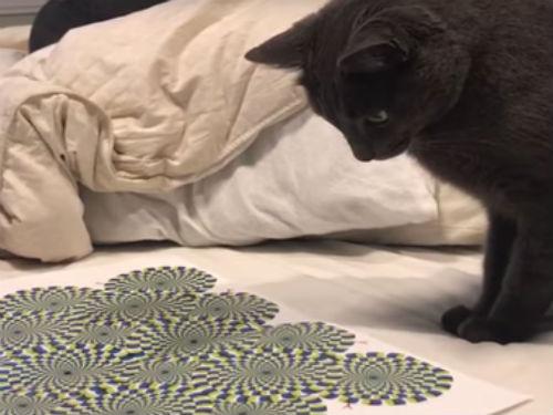 El dueño pone una ilusión óptica delante de su gato. Segundos después, se le puede ver totalmente perdido