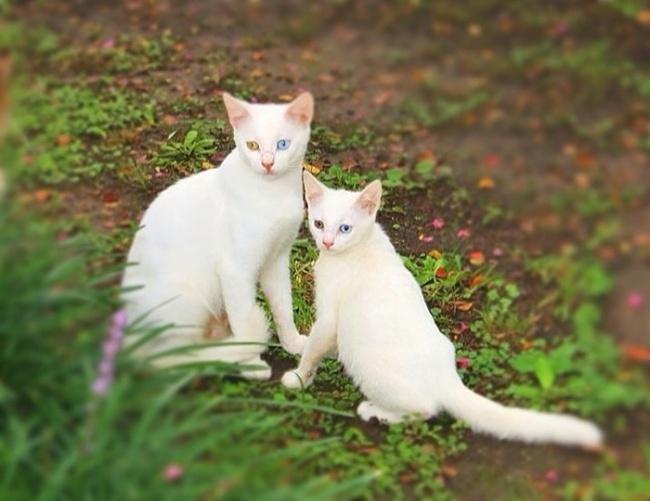 11 gatos que tienen sus versiones en miniatura iguales que ellos. ¡Te van a encantar!