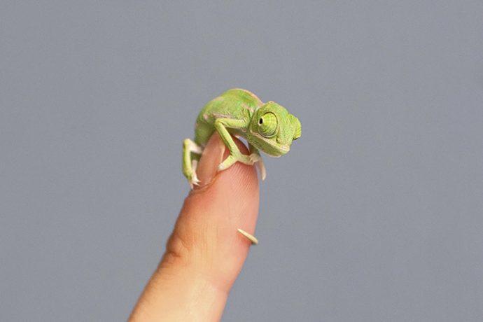 20 crías de camaleón que te enamorarán nada más verlas