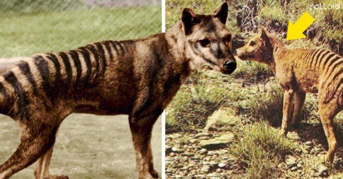 aparece tigre tasmania extinto sigue vivo banner