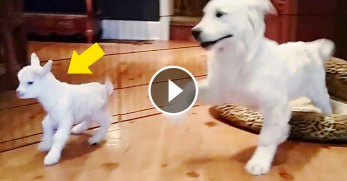 cachorro perro se vuelve loco con un cabrito banner