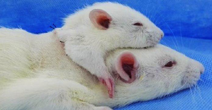cirujano que pretende realizar el primer transplante de cabeza cose una segunda cabeza a una rata como experimento banner