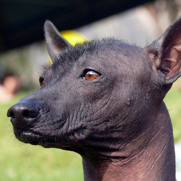 Estas son las 7 razas de perros más raras del mundo