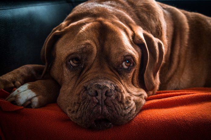 La raza de tu perro puede determinar si ya es demasiado mayor