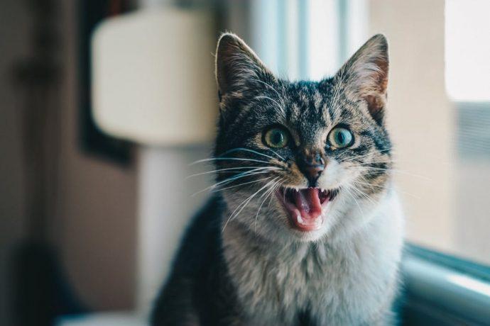 Los científicos consiguen descifrar las expresiones faciales de nuestros gatos