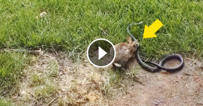 madre coneja salva a sus crias de una serpiente video banner