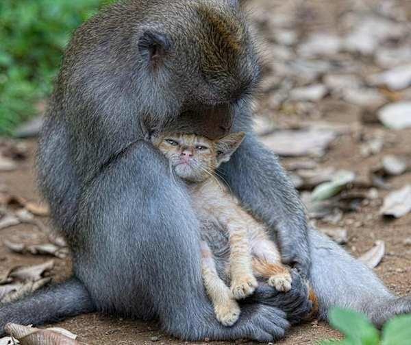 Un turista presencia en directo el elaborado plan de unos monos indonesios llevándose un gatito a casa