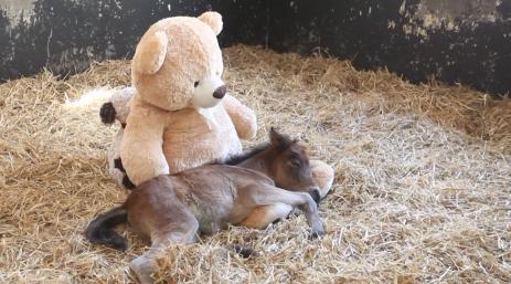 Internet se ha prendado con la cría de yegua que se acurruca con un oso de peluche tras perder a su madre