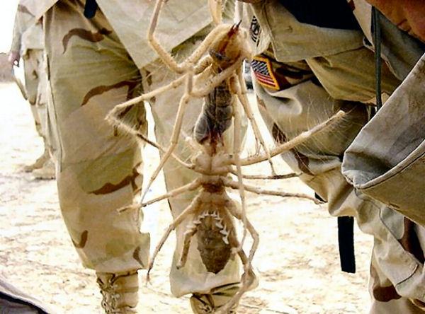 4 Razones por las que las arañas camello seguramente sean las criaturas más terroríficas del planeta