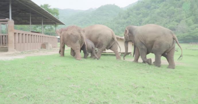 Una manada de elefantes corre en estampida a saludar a una cría rescatada y se funden en un gigantesco abrazo