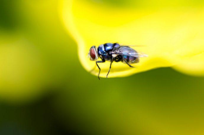 4 Trucos infalibles para mantener alejadas a las moscas y que no vuelvan de nuevo a la mesa