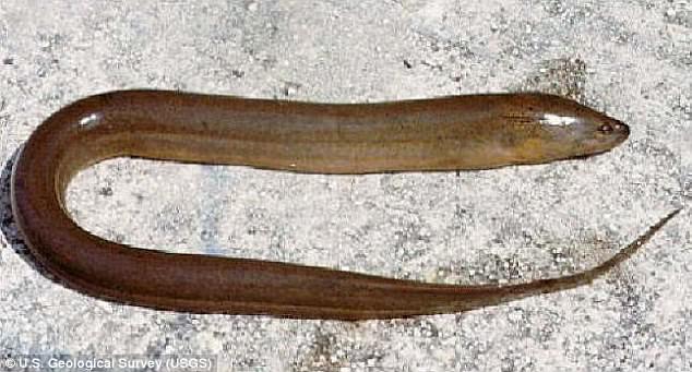 Un hombre acaba en el Hospital al meterse un anguila por el ano para ponerle fin al estreñimiento