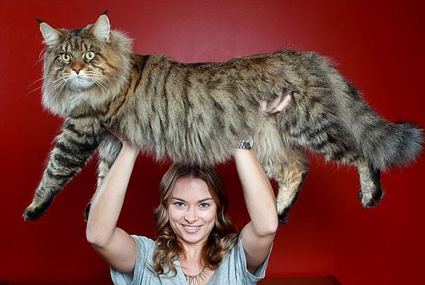 18 de los Gatos más Gigantescos del mundo con los que no te gustaría ni un pelo encontrarte