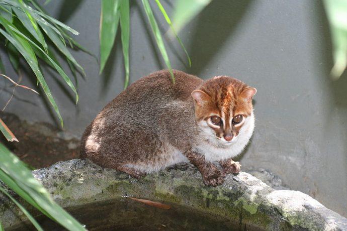 10 Curiosas especies de felinos muy poco comunes que seguramente no habías visto antes