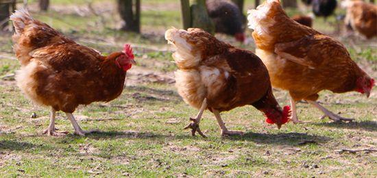 Se extiende por las redes el mito sobre qué yema de huevo de estas tres es más buena para nuestra salud