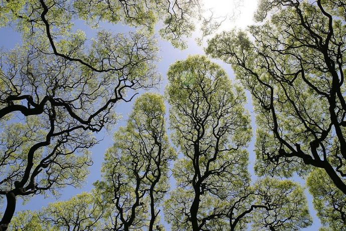 """Timidez Botánica: El curioso fenómeno de la """"vergüenza"""" entre los árboles"""