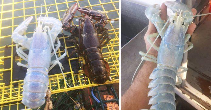 unos pescadores capturan una inaudita langosta transparente y la tiran al mar por ser mujer banner