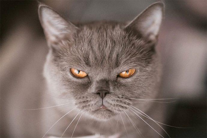 20 de los Gatos más cabreados del mundo a los que mejor no mirarles a la cara