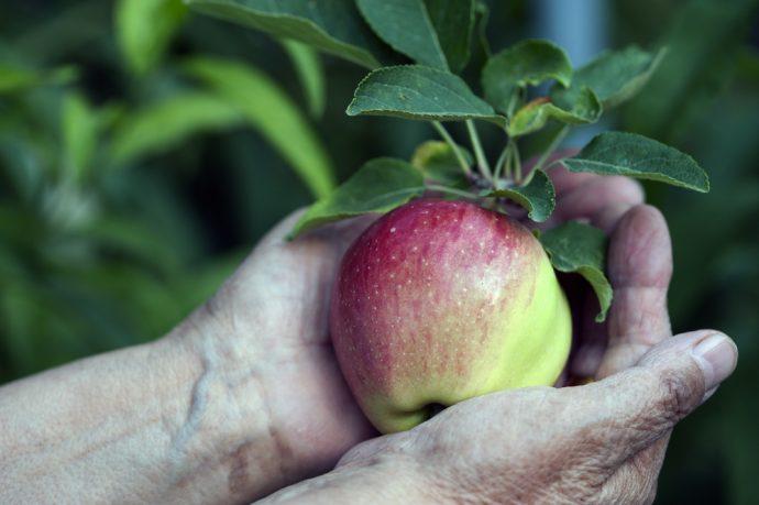 manzana verde arbol