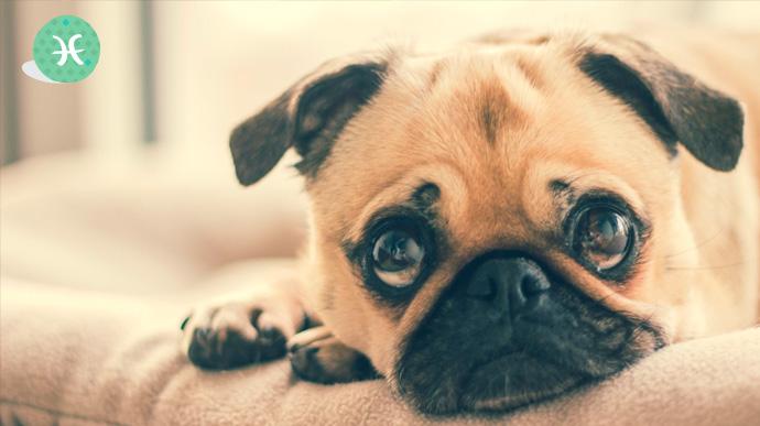 que tipo de perro eres segun tu signo del zodiaco 01