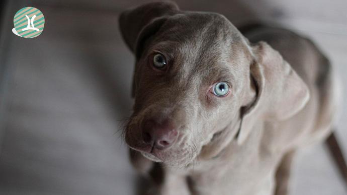 que tipo de perro eres segun tu signo del zodiaco 04