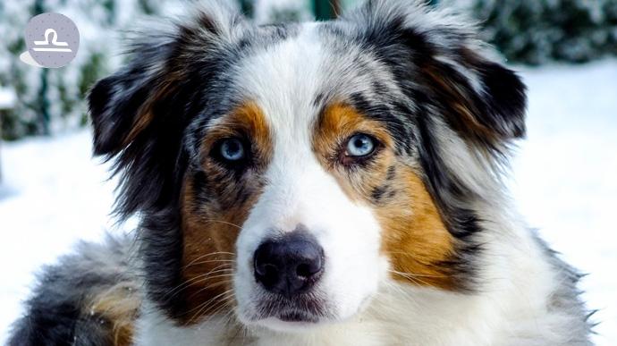 que tipo de perro eres segun tu signo del zodiaco 08