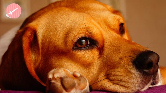 que tipo de perro eres segun tu signo del zodiaco 10