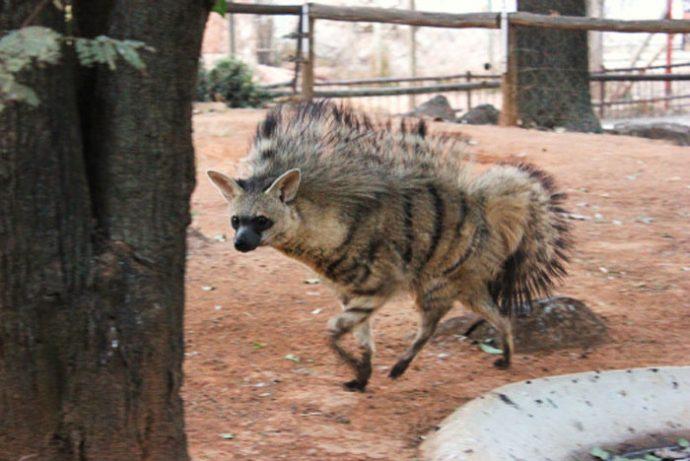 11 Curiosas cosas que hacen los extraños lobos de tierra para sobrevivir en la naturaleza