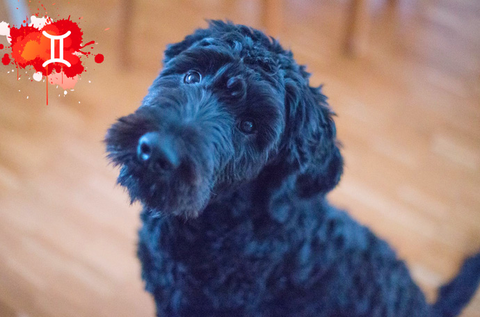 esta es la raza de perro perfecta para ti segun tu signo del zodiaco 03
