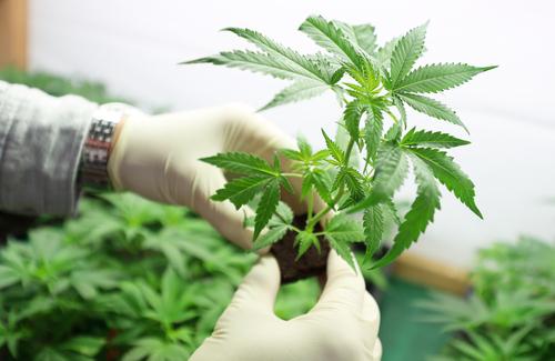 esto es lo que la marihuana realmente hace en tu cuerpo 194590