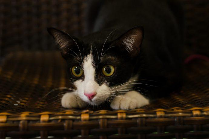 gato caca