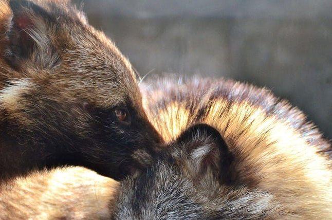 10 Cosas extrañas que seguramente no sabías sobre los curiosos Perros Mapache