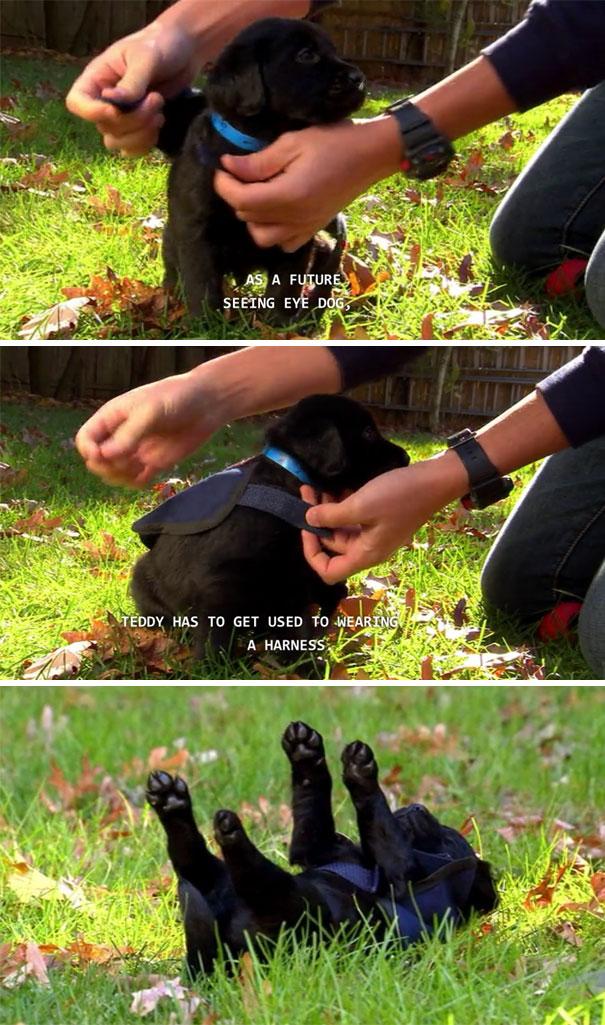 20 Divertidas imágenes de pequeños cachorros policía en su primer día de trabajo