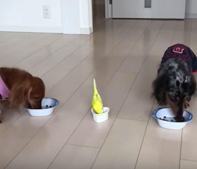 Una mujer graba en vídeo a su pájaro retando a dos perros para comprobar quién de los 3 comía más rápido