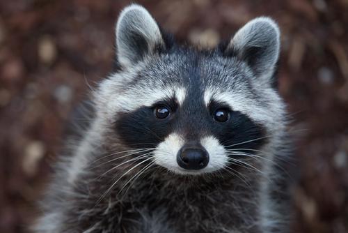 10 datos curiosos inteligentes sobre los mapaches 211049