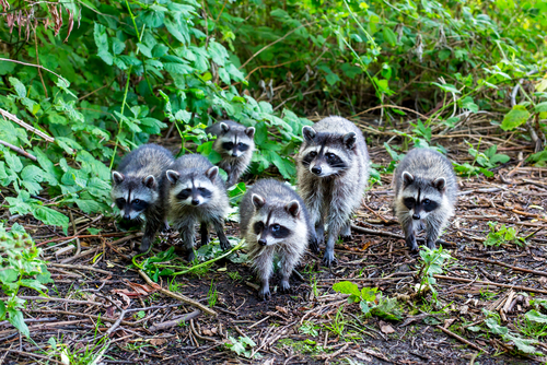 10 datos curiosos inteligentes sobre los mapaches 211055