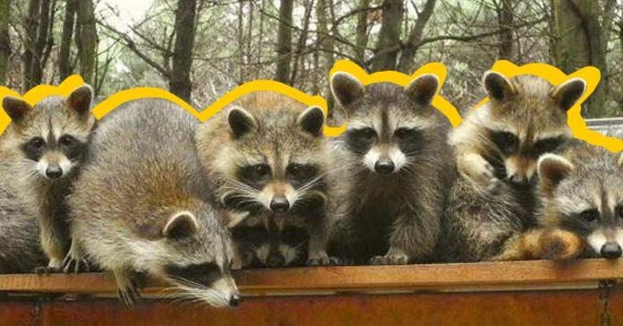 10 datos curiosos inteligentes sobre los mapaches banner